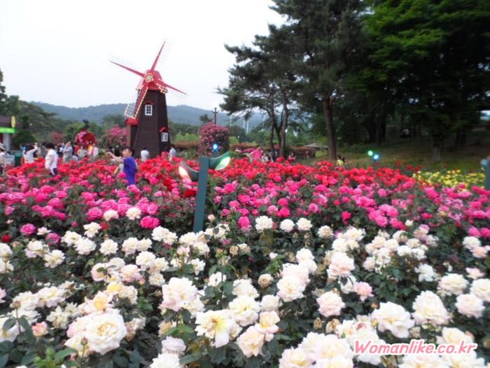 서울대공원 장미축제 장미원 (5)