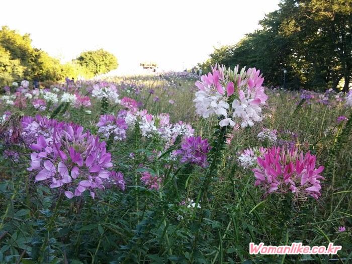올림픽공원 들꽃마루 풍접초