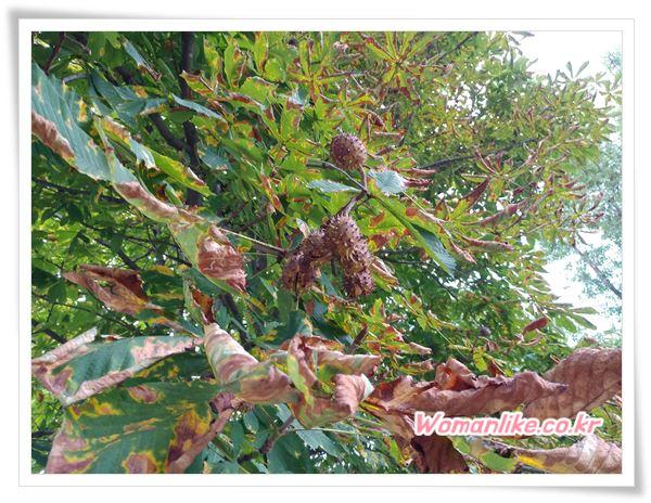 칠엽수 열매