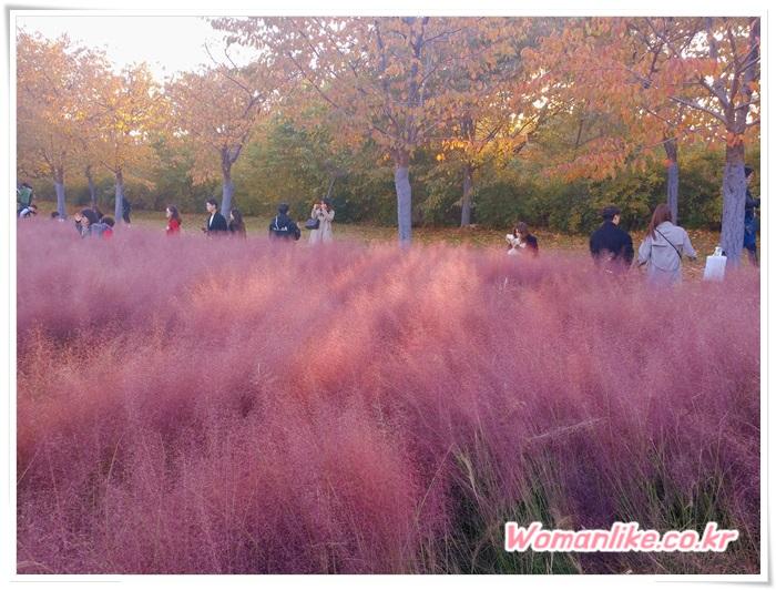 올림픽공원 핑크뮬리 (2)
